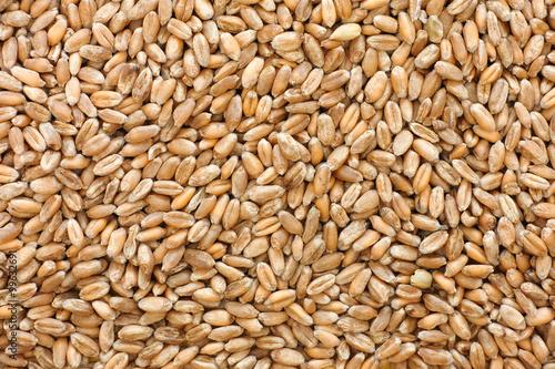 Whole wheat grain kernels background