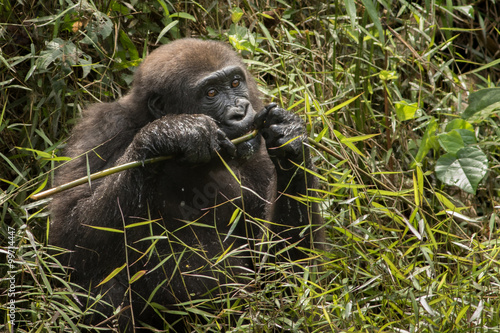 Photo lowland gorilla in Congo/lowland gorilla in Congo
