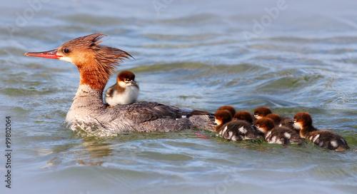 Mother Merganser with Ducklings