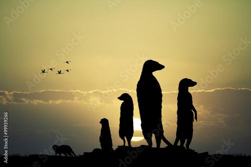 Canvas Print Meerkats silhouette at sunset