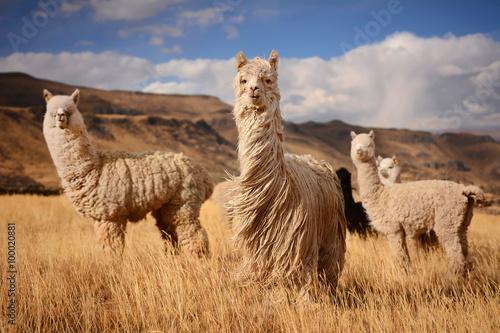 Canvas Print Llamas (Alpaca) in Andes,Mountains, Peru