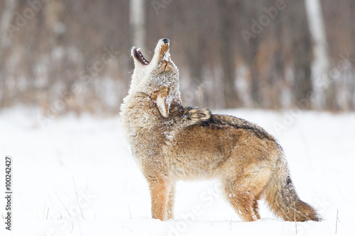 Wallpaper Mural Coyote Howling in the snow