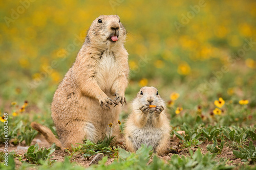 Fotografia Mother prairie dog with cute baby