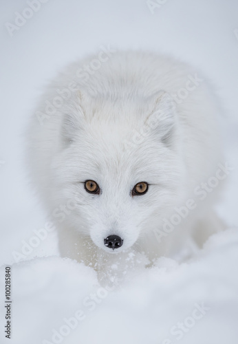 Canvas Print Arctic fox straight on in the snow