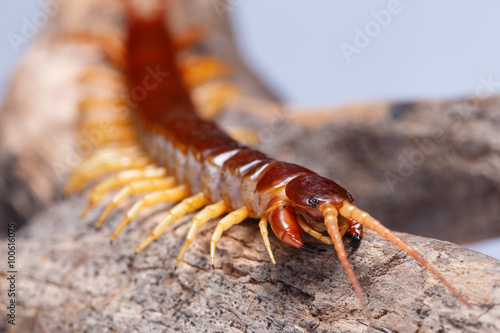 Fotografía centipede