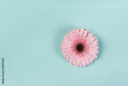 Różowy kwiat gerbera na turkusowym tle