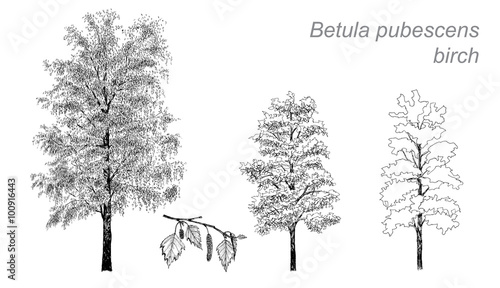 Tableau sur Toile vector drawing of birch (Betula pubescens)