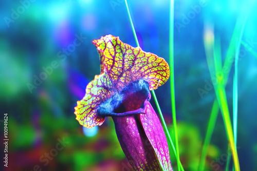 Carta da parati plants carnivorous flower sarracenia exornata