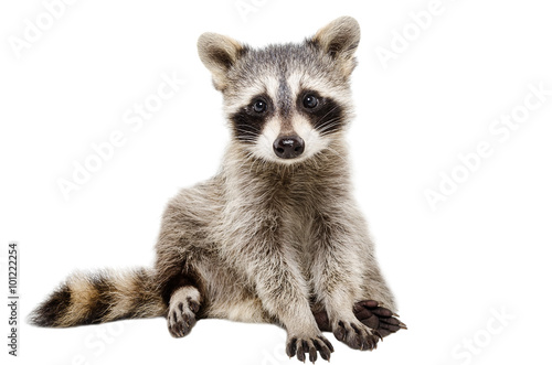 Canvas Print Funny raccoon sitting isolated on white background
