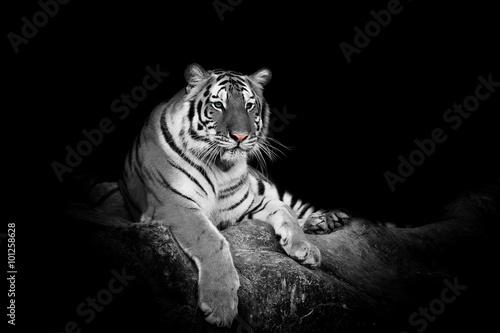Obraz na płótnie white tiger