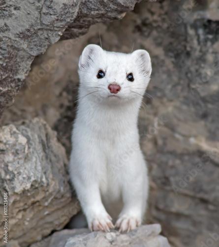 Obraz na płótnie Short-tailed Weasel