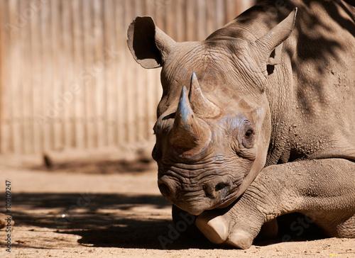 Fototapeta premium Eastern black rhinoceros