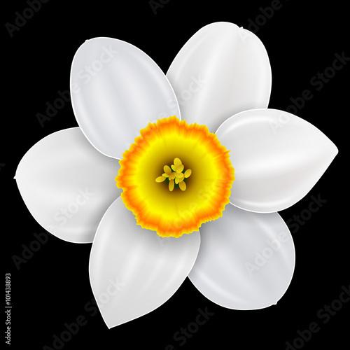 Carta da parati Flower narcissus, spring white flower isolated