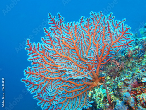 Photographie Gorgonian coral, Island Bali