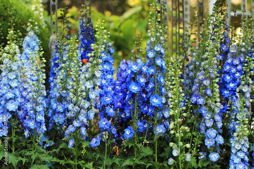 Canvas Print blue delphinium flower