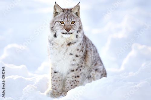 Fototapeta premium Beautiful lynx cub sits in the cold snow