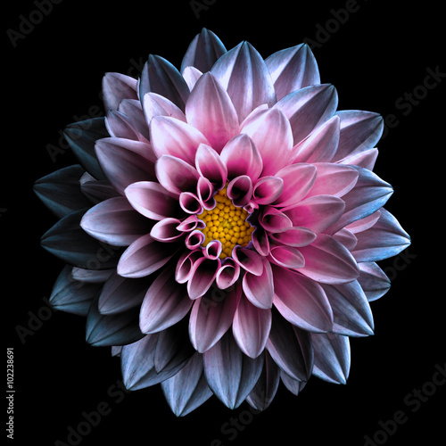 Surreal dark chrome yellow and red flower dahlia macro isolated on black