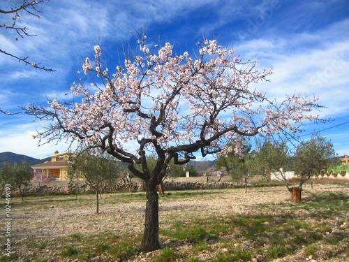 Fotografia almond tree with pink blossom