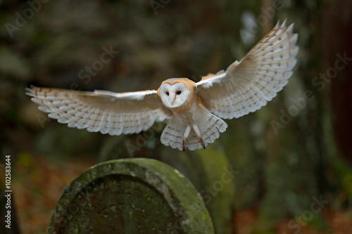 Barn owl with nice wings landing on headstone