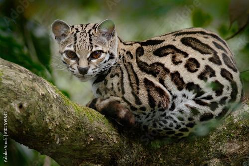 Fototapeta premium Margay, Leopardis wiedii, piękny kot siedzący na gałęzi w tropikalnym lesie w Panamie