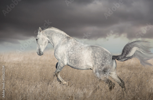 Gray Lusitanian horse run