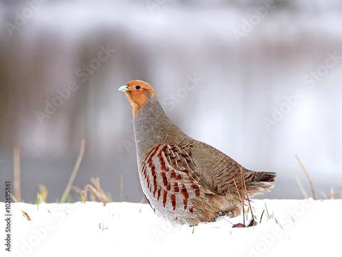 Fotografie, Obraz Grey partridge (Perdix perdix)