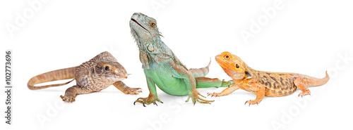 Fotografia Three Types of Lizards-Vertical Banner