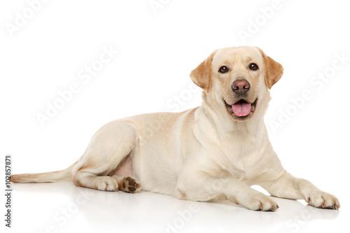 Obraz na płótnie Young Labrador retriever