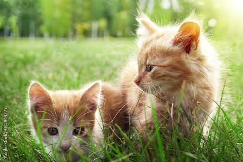 Fototapeta Dva kotě na zelené trávě