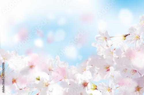 Płatki kwiatów wiśni dużo