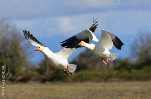 Two Snow Geese in Flight, blue sky background, British Columbia, Canada