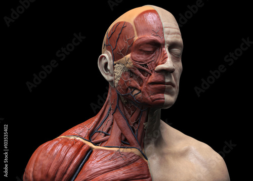 Human anatomy - muscle anatomy of the face neck and chest Fototapeta