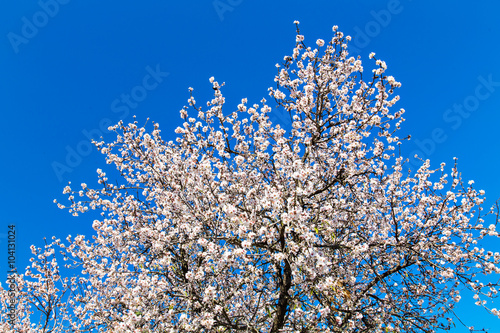 Fotografia Detail of branch and almond flowers in spring.