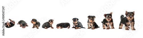 Foto Stages of growth puppy yorkshire terrier