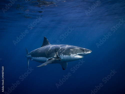 Tagged Great white shark for conservation under sun rays in the blue Pacific Ocean  at Guadalupe Island in Mexico