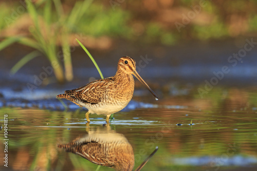 Snipe in all its glory, knee-deep in water/Snipe in all its glory, knee-deep in Fototapeta