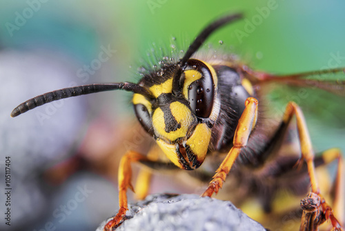 Vászonkép bee, nature, eyes, hornet, fly,detail,insect