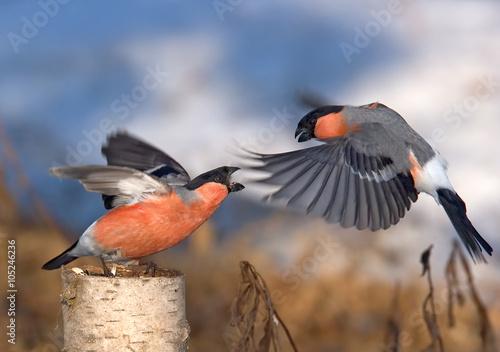 Spring battle of two male Bullfinches Fototapeta