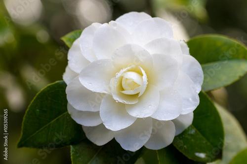 Fototapeta White Camellia Flower Macro
