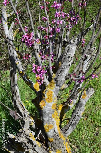 Fotografia, Obraz old judas tree blossom in the spring