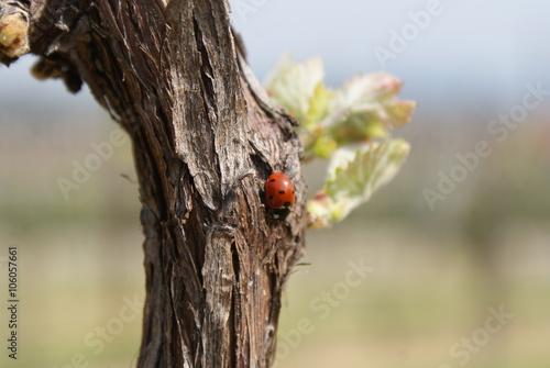 Coccinella su ramo di vigna