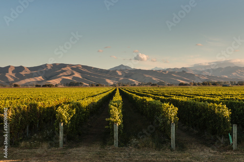 rows of vine in vineyard in New Zealand Fototapeta