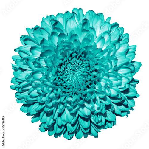 Turquoise chrysanthemum (golden-daisy) flower macro isolated on white