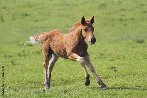 Brown foal  jumping