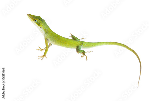 Fototapeta The lizard  Northern Green Anole (Anolis carolinensis carolinens