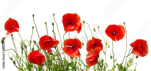 Fotografie, Obraz red poppies on white