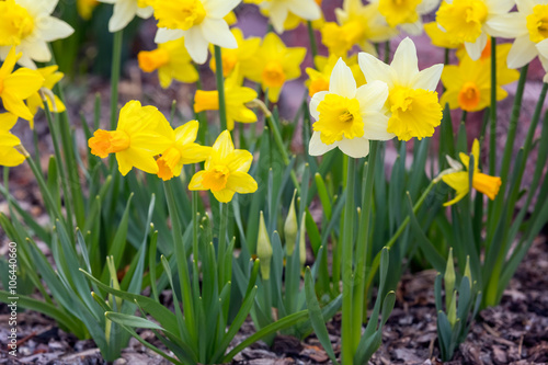 Yellow narcissus spring blossom