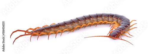 Fotografija centipede on white background