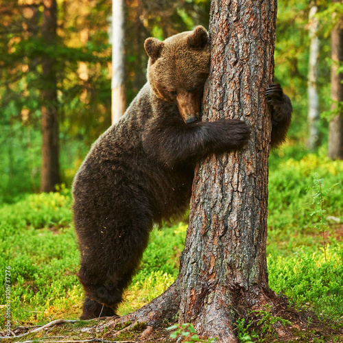 Canvas Print brown bear leaning against a tree