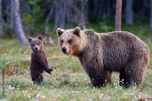 Fototapeta Mother bear and cub